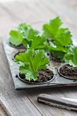 Einzelne Pelargonienblätter als Stecklinge in Anzuchtschale