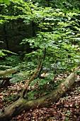 Tree trunk amongst leaf litter on woodland floor