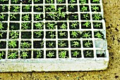 Seedlings in seed tray