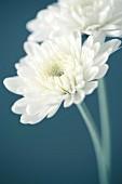Zwei weisse Chrysanthemen