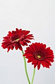 Two Red Gerbera Daisies on White Background