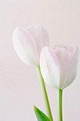 Studio shot of pink tulips