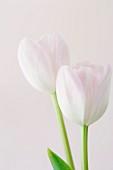 Studio shot of pink tulips