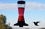 Hummingbird and Nectar