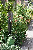 Green metal watering can and flowers lining paved path