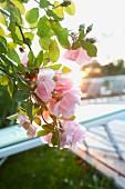 Rosafarbene Rosenblüten im Morgenlicht