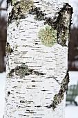Lichen growing on birch bark in winter (detail)