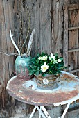 Flowering hellebore on weathered garden table