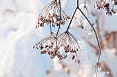 Snow-covered fennel seed heads