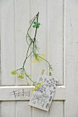 Flowering sprig of fennel & copy of nostalgic botanical illustration on white wooden wall