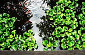 Goldfish and water hyacinths in pond