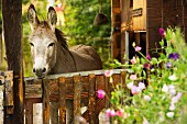 Donkey in meadow behind fence