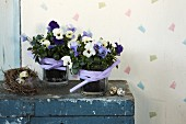 Violas in glass pots with lilac ribbons and bird's nest on vintage wooden trunk