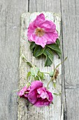 Vintage ambiance; lilac dog roses on weathered wooden slat