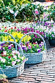 Baskets of violas of various colours on flower market