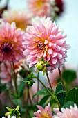 Pink dahlias in garden
