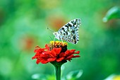 Butterfly on red zinnia flower