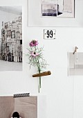 Lilac Nigella attached to wall with peg amongst black and white postcards