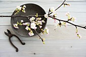 Flowering branch on grey dish and vintage garden shears