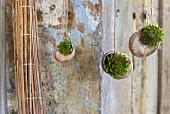 Sukkulenten in Weinbergschneckenhäuser eingepflanzt und an Schnur aufgehängt