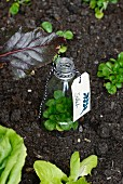 Cloche made from plastic bottle with bottom removed and labelled with tag covering young plant