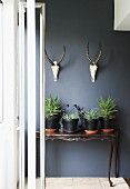 Plants in black-painted pots on antique console table below two hunting trophies on wall painted dark grey