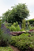 Low wall of reclaimed bricks in vegetable patch with flowering lavender bush in foreground