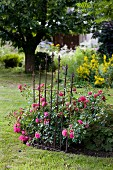 Rose 'Young Lycidas' in flowerbed with iron plant support