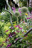 Purple-flowering clematis climbing up pruned willow and allium flower heads