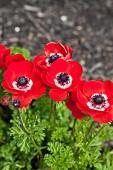 Red anemones in garden