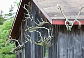 Sets of large antlers hanging on outside wall of wooden cabin