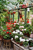 Geraniums of various colours in greenhouse