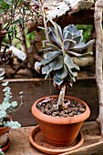Potted succulent (Echeveria) on wooden surface