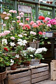 Potted geraniums of various colours on wooden crates in greenhouse