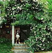 Dog sitting in garden gateway below rose arch