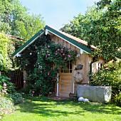Flowering climbing rose on wooden garden shed
