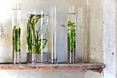 A mini aquarium - water plants in glass vases on a vintage shelf