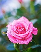 Eine rosafarbene Rosenblüte mit Tautropfen (Nahaufnahme)