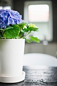 Violette Hortensie in weißem Blumentopf