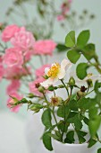 White-flowering wild rose in vase in front of pink dog roses