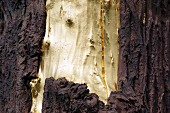 A tree trunk, bark partially removed and gilded