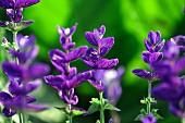 Flowering ornamental sage