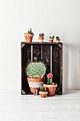 Minimalist Mexican arrangement of cacti of different sizes in terracotta pots decorated with white lace trim on and in vintage wooden crate