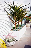 Palm trees and succulents in planters on roof terrace with white wooden screen wall