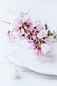 Fuzzy deutzia flowers (Deutzia scabra) on plate