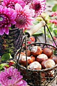 Conkers in wire basket with wooden handle in front of bouquet of pink dahlias in garden