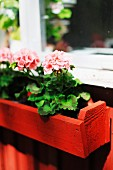 Pink geraniums in narrow window box of red-painted wood