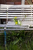 A dandelion growing up between the slats of an old wooden bench