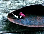 Rose campion (Lychnis coronaria) in vintage dish