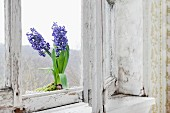 Potted blue hyacinths on sill of old wooden window